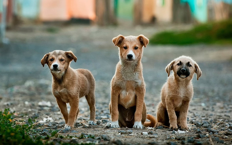 Three brown dogs looking toward the camera